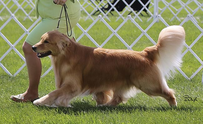 Golden Retriever Breeders Virginia - ELDORADO GOLDEN